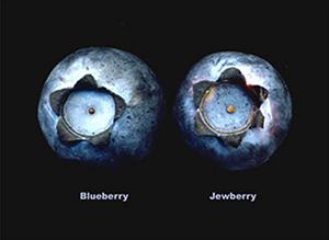 Blueberry vs Jewberry